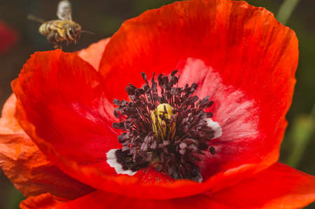 Bees collect pollen from the flowers of red poppy.