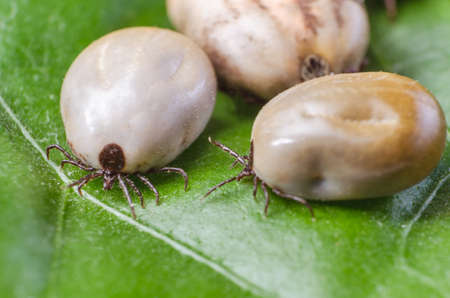 dog tick: Three blood-filled mites crawl along the green leaf.