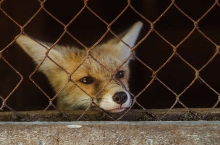 Young fox in a cage.