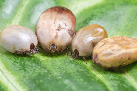 Ticks filled with blood sit on a green leaf.