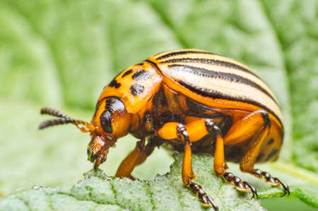 Colorado potato beetle eats potato leaves, close-up. Stock Photo