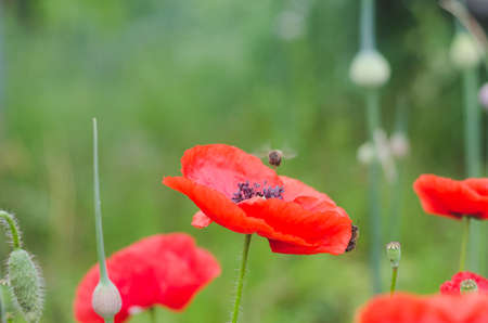 Red poppy flower on a green background stock photo picture and red poppy flower on a green background stock photo 97396450 mightylinksfo