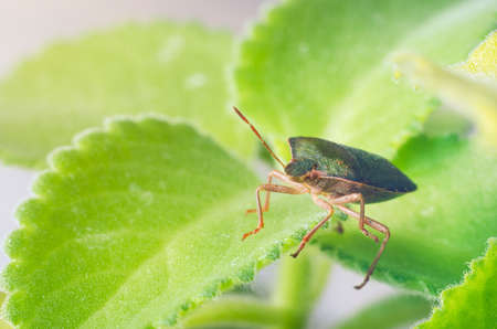 Green shield bug Palomena prasina. Stock Photo