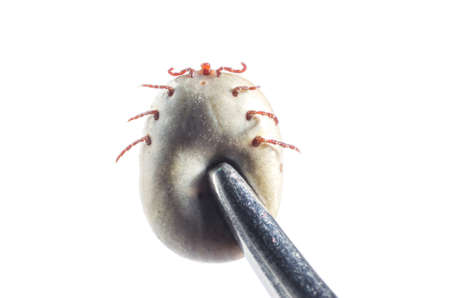 A blood-filled tick with tweezers clamped on a white background.