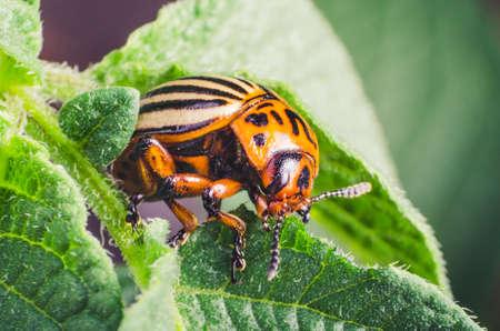 Colorado potato beetle eats potato leaves, close-up. Stock Photo