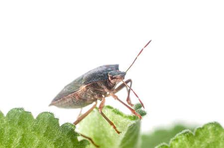 The bug the green tree shield Palomena prasina sits on the leaf. Stock Photo