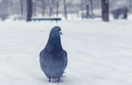 Gray dove in the winter on the snow. Stock Photo