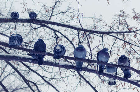 A flock of frozen pigeons sitting on a branch in the winter during a snowfall.