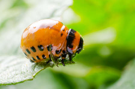 Red larva of the Colorado potato beetle eats potato leaves. Banque d'images - 118970964