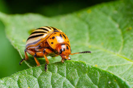 Colorado potato beetle eats green potato leaves.