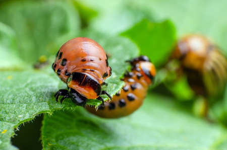 Red larva of the Colorado potato beetle eats potato leaves.