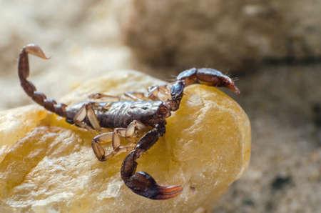 Scorpion sitting on a stone close up. Stock Photo