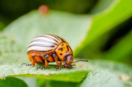 Colorado potato beetle eats green potato leaves.