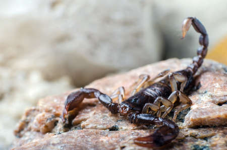 Scorpion sitting on a stone close up. 免版税图像