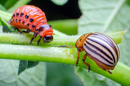 Colorado potato beetle and red larva crawling and eating potato leaves. Banque d'images - 121769948