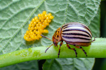 Colorado beetle crawls near yellow eggs on a sheet of potatoes