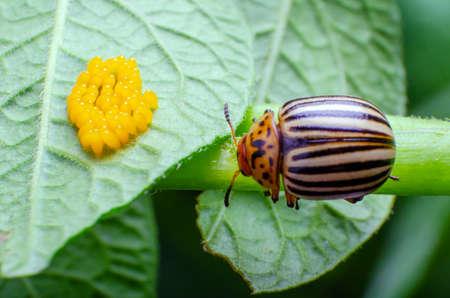 Colorado beetle crawls near yellow eggs on a sheet of potatoes