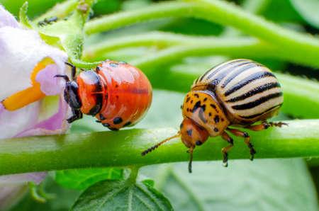 Escarabajo de la patata de Colorado y larva roja arrastrándose y comiendo hojas de patata.
