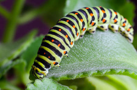 Caterpillar of the Machaon crawling on green leaves close-up 免版税图像