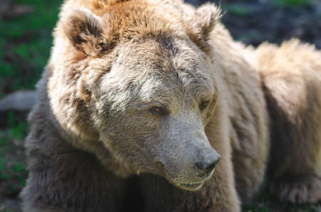 Portrait of an old brown bear, a predatory beast. Stok Fotoğraf