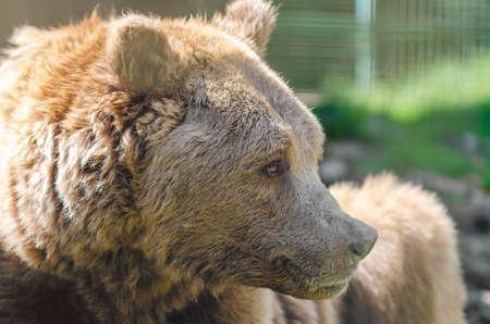 Portrait of an old brown bear, a predatory beast.