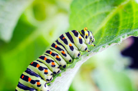 Caterpillar of the Machaon crawling on green leaves close-up Stok Fotoğraf