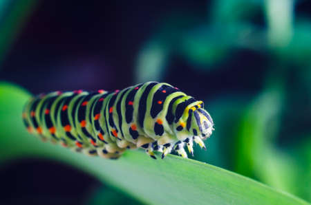 Caterpillar of the Machaon crawling on green leaves close-up Stock Photo