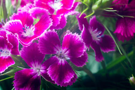 Beautiful multicolored flowers of Turkish carnation growing in a summer sunny garden close-up. 写真素材