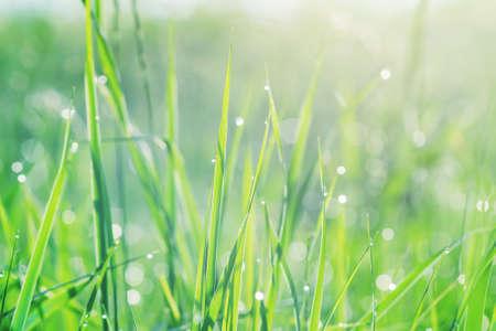 Świeża zielona trawa z kroplami rosy w świetle słonecznym wczesnym rankiem, tekstura tło.