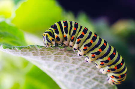 Caterpillar of the Machaon crawling on green leaves close-up Reklamní fotografie