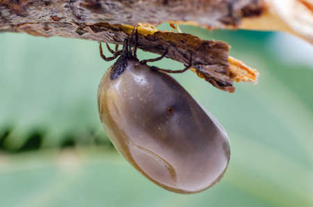 Swollen mite from blood, a dangerous parasite and carrier of infection sits on a branch.