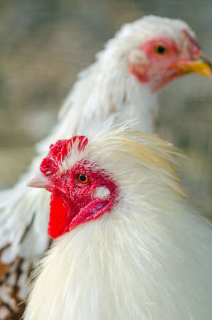 Close-up portrait of a rooster on a chicken farm.