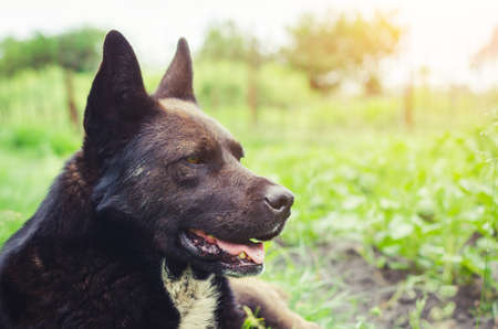 Portrait of a large black dog lying on the grass.