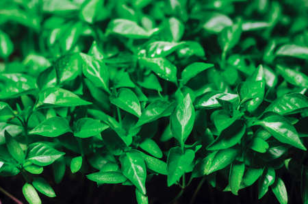 Green leaves seedlings of young pepper grown in a greenhouse, background texture. Zdjęcie Seryjne