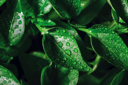 Drops of water on green leaves of seedlings of young pepper grown in a greenhouse, background texture.