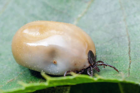Swollen mite from blood, a dangerous parasite and carrier of infection sits on a leaf. Stock Photo