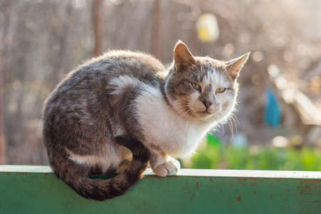 Gray-white cat sits on a fence in spring sunny day.
