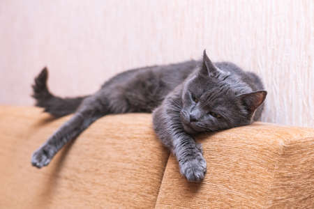 Beautiful gray cat resting on the couch stretching its front paw. Zdjęcie Seryjne