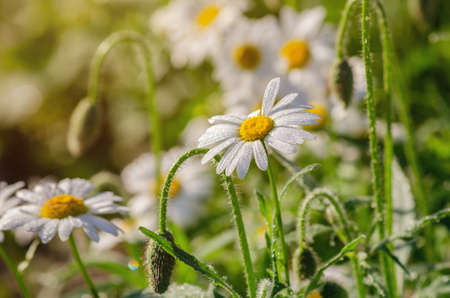 Chamomile flower with dew drops on white petals, close up.