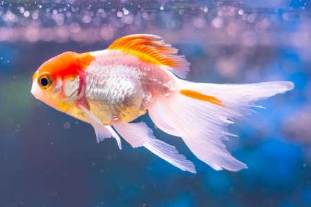 Goldfish carassius auratus swims in a freshwater aquarium.