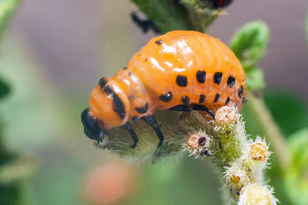 Colorado potato beetle larvae eats potato leaves, damaging agriculture.