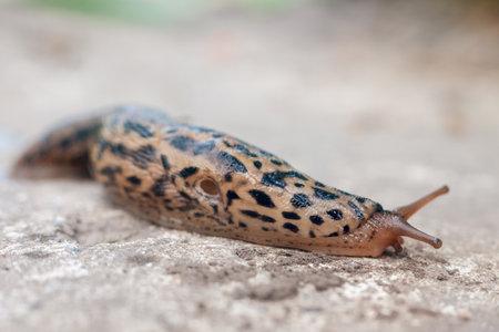 Slug slowly creeps on the ground, close-up.