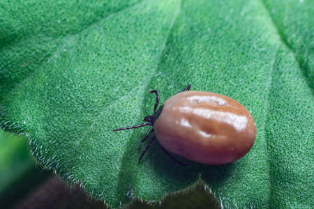 A dangerous parasite and infection carrier mite sitting on a green leaf. Reklamní fotografie