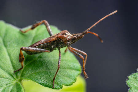 Western Conifer Seed Bug Leptoglossus occidentalis on a green leaf.