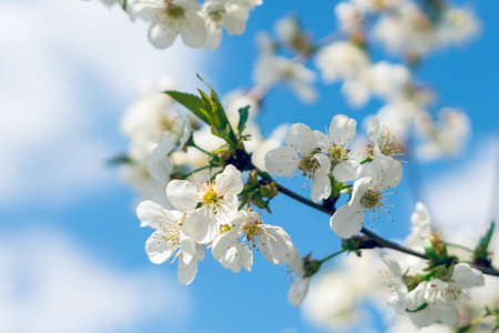 Spring blooming cherry trees with white flowers in the garden against the blue sky. Stock Photo