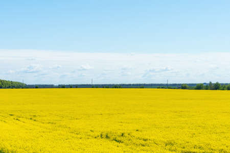 Colorful yellow spring rapeseed field on a sunny day with beautiful blue sky.