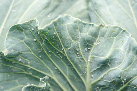 Whitefly Aleyrodes proletella agricultural pest on cabbage leaf. Stock Photo