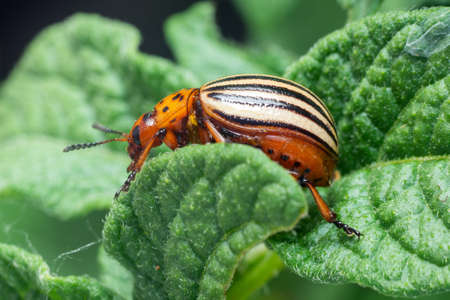 Crop pest, the Colorado potato beetle sits on the leaves of potatoes.