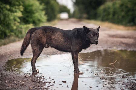 A large homeless black dog with a sad look stands in a muddy puddle.