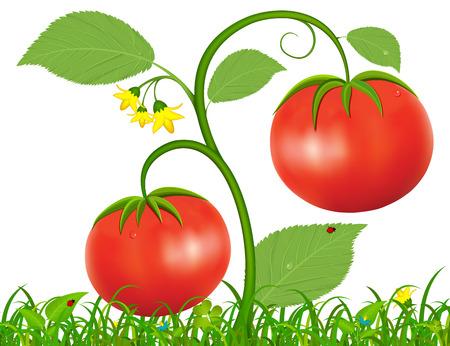 Illustrazione vettoriale cespuglio con pomodori rossi crescono su una radura verde
